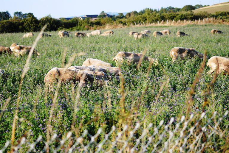 Troupeau de brebis dans les champs de Brasc